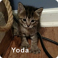 Domestic Shorthair Kitten for adoption in Jacksonville, Florida - Yoda and his littermates
