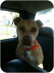 American Staffordshire Terrier/American Pit Bull Terrier Mix Dog for adoption in Lutz, Florida - Miley