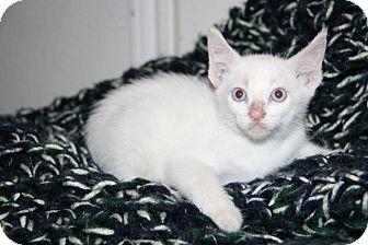 Domestic Shorthair Kitten for adoption in Austin, Texas - Hope