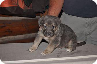 German Shepherd Dog Mix Puppy for adoption in Hamilton, Montana - Blue