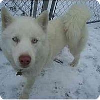 Adopt A Pet :: White Fang - Belleville, MI