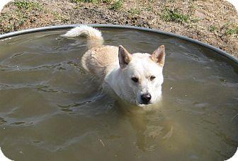 Husky/Labrador Retriever Mix Dog for adoption in Columbus, Nebraska - Charley