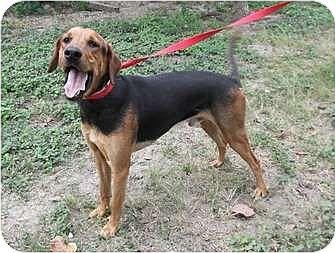 Labrador Retriever/Hound (Unknown Type) Mix Dog for adoption in Key Biscayne, Florida - Popito