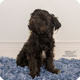 Schnauzer (Miniature) Mix Dog for adoption in Naperville, Illinois - Bullet