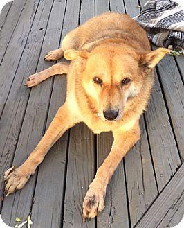 Shepherd (Unknown Type)/Chow Chow Mix Dog for adoption in Cincinnati, Ohio - Lady