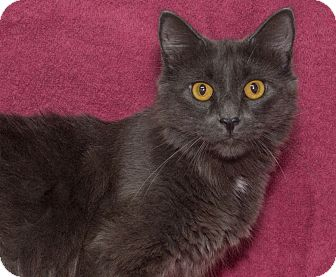 Domestic Mediumhair Cat for adoption in Elmwood Park, New Jersey - Mink