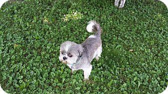 Shih Tzu Dog for adoption in Schofield, Wisconsin - Tonka
