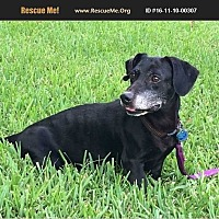 Dachshund Mix Dog for adoption in Homestead, Florida - bongo