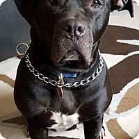 American Bulldog Mix Dog for adoption in Mississauga, Ontario - Nila