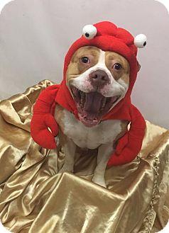 American Pit Bull Terrier Dog for adoption in Virginia Beach, Virginia - 1702-0245 AY-GRIP