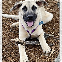 Adopt A Pet :: Scooby loves people - Sacramento, CA