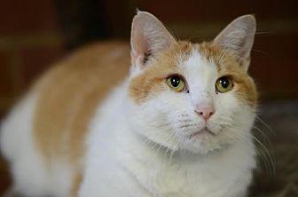 Domestic Shorthair Cat for adoption in Atlanta, Georgia - Marmalade 14050