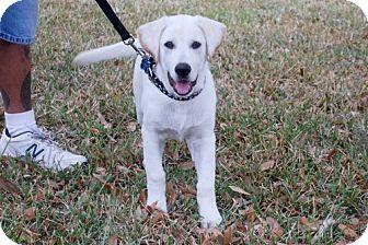 Labrador Retriever/German Shepherd Dog Mix Puppy for adoption in Minneola, Florida - Finigan