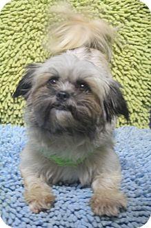 Shih Tzu/Lhasa Apso Mix Dog for adoption in Wytheville, Virginia - Lauren Hill