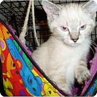 Adopt A Pet :: Siam - Little Rock, AR