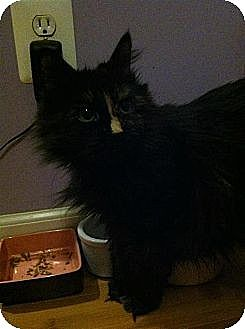 Domestic Mediumhair Cat for adoption in Binghamton, New York - Shelly