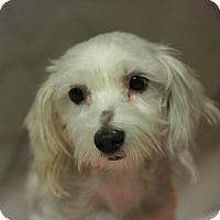 Adopt A Pet :: Precious - Canoga Park, CA
