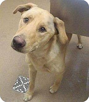 Labrador Retriever/Shepherd (Unknown Type) Mix Dog for adoption in Las Vegas, Nevada - Jake