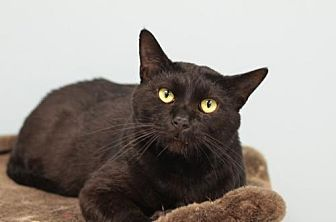 Domestic Shorthair Cat for adoption in Atlanta, Georgia - Magic Mike 141656