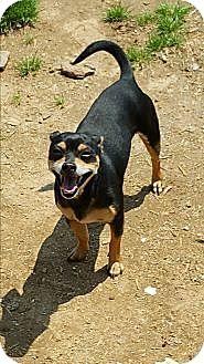 Chihuahua Mix Dog for adoption in Albany, North Carolina - Bandit