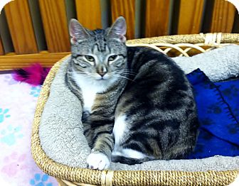Domestic Shorthair Cat for adoption in Byron Center, Michigan - Bambino