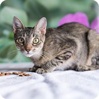 Domestic Shorthair Cat for adoption in Houston, Texas - Pancake
