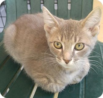 Domestic Shorthair Kitten for adoption in Bryson City, North Carolina - Sherman
