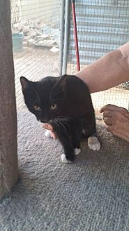 American Shorthair Kitten for adoption in Palmdale, California - Boots