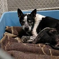Boston Terrier/Cattle Dog Mix Dog for adoption in Wilmington, Delaware - Charles