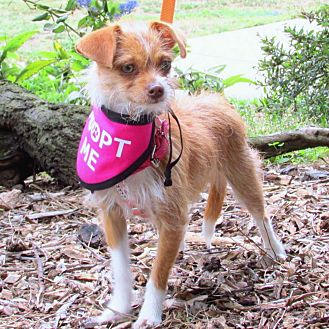 Brussels Griffon/Terrier (Unknown Type, Small) Mix Puppy for adoption in Redondo Beach, California - Ginger is just a puppy!