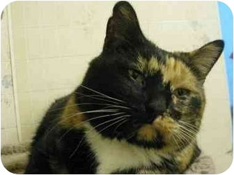 Domestic Shorthair Cat for adoption in Chicago, Illinois - Finesse