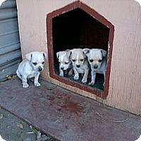Adopt A Pet :: Chihuahua Puppies - Seattle, WA