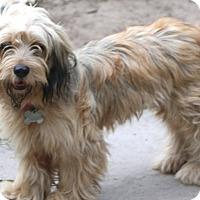Adopt A Pet :: Saffron - Norwalk, CT