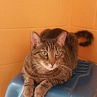 Adopt A Pet :: Tabby - Crossville, TN