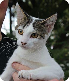 Domestic Shorthair Kitten for adoption in Ocean Springs, Mississippi - Daisy