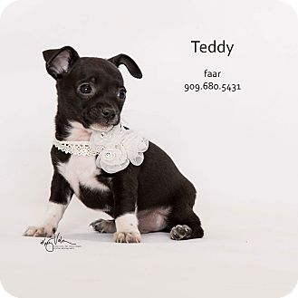 Rat Terrier Mix Puppy for adoption in Riverside, California - Teddy