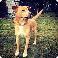 "Chow Chow/Basenji Mix Dog for adoption in Seattle, Washington - ""Thor"""