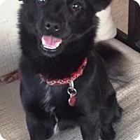 Adopt A Pet :: Cleo - Gilbert, AZ