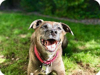 Labrador Retriever Mix Dog for adoption in Phoenix, Arizona - Chessie