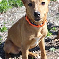Adopt A Pet :: Peaches - Westminster, CO