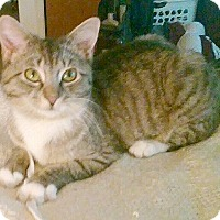 Adopt A Pet :: Mittens - Germansville, PA