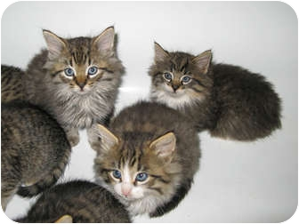 Maine Coon Kitten for adoption in Oxford, Connecticut - Maine Coone Baby