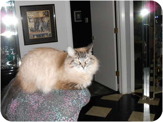 Himalayan Cat for adoption in Jeffersonville, Indiana - King Louie