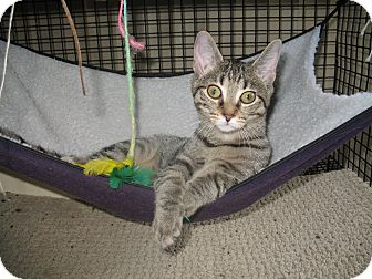 Domestic Shorthair Cat for adoption in Acme, Pennsylvania - Romona