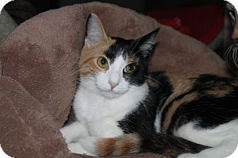 Domestic Shorthair Cat for adoption in North Branford, Connecticut - Lois Lane