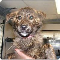 Adopt A Pet :: Sybil - Alexandria, VA