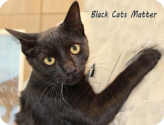 Domestic Shorthair Cat for adoption in Edgewood, New Mexico - B C  Matter