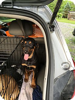 Doberman Pinscher/Labrador Retriever Mix Dog for adoption in Staunton, Virginia - Reagan
