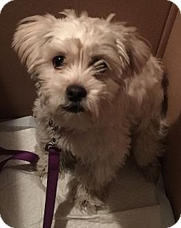 Maltese/Poodle (Toy or Tea Cup) Mix Dog for adoption in Los Angeles, California - Ruby