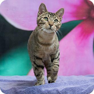 Domestic Shorthair Kitten for adoption in Houston, Texas - Lefty